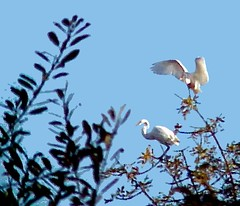 642 - 2 Great White Egrets (Artsy) (Pixel Packing Mama) Tags: bird nature birds outdoors wildlife artsy photographicart oregonwildlife mylifeas greatwhiteegrets pixelpackingmama dorothydelinaporter uploadedtoflickr2005set pixelpackingmama~prayforkyronhorman oversixmillionaggregateviews over430000photostreamviews