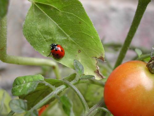 Ladybug at home