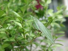Katydid (mmgoodsoup) Tags: bug michigan katydid