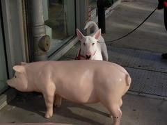 jack & pig (sbethell) Tags: jack bull bullterrier englishbullterrier jackdog