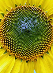 fibonacci sunflower (Chris Lombardi) Tags: flower yellow garden phi spirals fibonacci sunflower centered goldenmean goldenratio mosaic05 16180339 aut0249