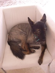 new hair2 (marquis de Shlomo) Tags: newhairstyle marines hairdo dog shlomo