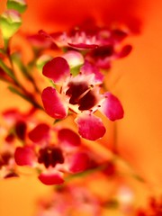 idol (Janet Leadbeater) Tags: pink red orange flower color colour nature topf25 floral beautiful topv111 topv2222 wow happy japanese interestingness topv555 topv333 warm bright vibrant topv1111 topv999 warmth vivid chinesenewyear florist wax topv777 topv3333 depth interestingness2 mc02 topmc02 mc02color i500 utataredorange