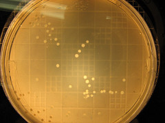 Countingdots01 (Utisz) Tags: escherichia coli ecoli agar petri counter macro
