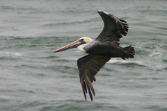 Brown Pelican (Lucina M) Tags: brownpelican birdinflight canon300d bird