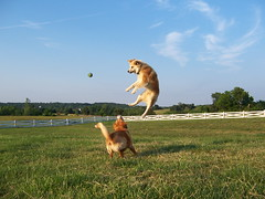 frankenstein and olive playing catch (uhoh over) Tags: dog dogs ball jump play tennis catch fetch