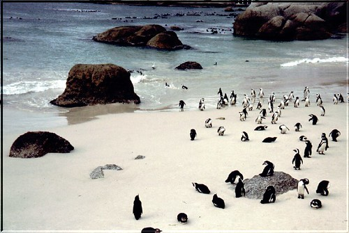 """SA 00 Penguin Bay • <a style=""""font-size:0.8em;"""" href=""""http://www.flickr.com/photos/49106436@N00/42969824/"""" target=""""_blank"""">View on Flickr</a>"""