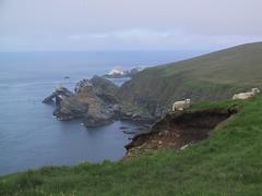 precarious sheep (birdfarm) Tags: cliff freeassociation islands scotland sheep badge shetland unst shetlandislands hermaness