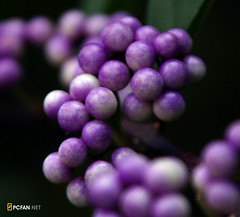 Beautyberry (DigiPub) Tags: plant closeup catchycolors ilovenature purple explore pearl beautyberry