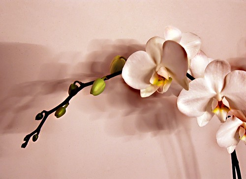 orchid by maessive, on Flickr
