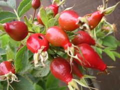 wild rose hips (LauraElaine) Tags: elcerrito berry rose