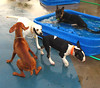 Dog Run - Domination  Img_0701 (Lanterna) Tags: pets dogs animals vizsla frustration germanshepherd bullterrier lanterna dogrun canonpowershota75