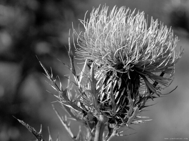 Thistle in Trempealeau