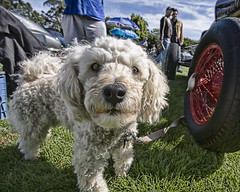 Concours #19 - When Poodles roamed the Earth (Mark Interrante (aka pinhole)) Tags: dog wow poodle 16mm concours hillsborough lucisart lucis hillsboroughconcours