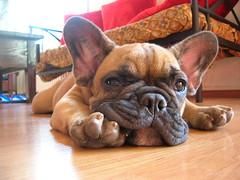 Just Chillin' (benster1970) Tags: puppy geotagged puppies alf bulldog frenchbulldog frenchbulldogs prefs bouledoguefrançais bouledogue geo:lat=48601552 geo:lon=7708288
