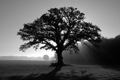 The Tree 12 (eScapes Photo) Tags: trees tree topv111 fog sunrise geotagged illinois oak favme fv10 notblogged oaktree topten burroak geo:lat=404676 geo:lon=895325 interestingness205 i500 notei loneoaktree notcipb nottwit