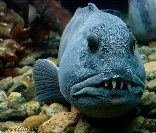 los peces más feos del mundo