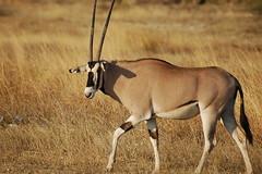 劍羚 (flybird0223) Tags: oryx kenya samburu beisaoryx