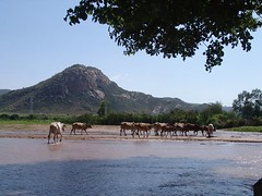 Cows at river (CharlesFred) Tags: africa countryside african somali dailylife ethiopia afrique ogaden babile
