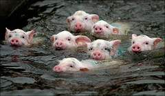 piggies (ebygomm) Tags: piggies