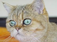 Ling portrait (_Xti_) Tags: gato gatos cat cats gatosexoticos gatoexotico exoticcat exoticcats lua ling katzen gatto gatti kätzchen méo kitty furry cutecat feline felines exotic persian gata gatas chat silver golden sorthair pet pets eyes kaz ket mau exoticsorthair fantastic top20catpix