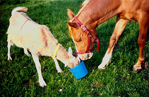 Houdini the Goat & Royal the Arabian Horse Fight Over Blue Bucket of Oats