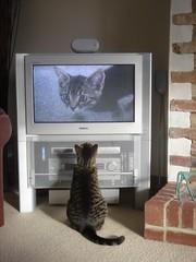 [フリー画像] 動物, 哺乳類, ネコ科, 猫・ネコ, TV・テレビ, 201006041100