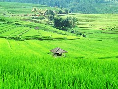 green planet - bali, indonesia (chillntravel) Tags: trip travel vacation bali holiday indonesia holidays asia southeastasia hut trips ricefield paddyfield sawah eos500 1000places firsttheearth