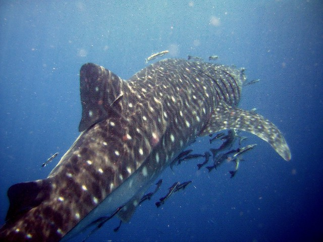 Whale Shark Diving Koh Tao Thailand