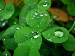 Rainy Day Clover II (Dave Ward Photography) Tags: 2005 plant macro green water rain weather closeup droplets drops unfound drop rainy raindrops droplet clover waterdrops davewardsmaragd pss:opd=1129765334 pss:opd=1129761862
