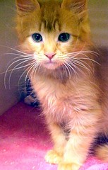 MVC-434F Pumpkin the Kitten (Pixel Packing Mama) Tags: cats beautiful cat kitten adorable mycats mostinteresting top20catpix awww catsandkittensset catscatscats furryfriday nuggets allanimals orangygoodness cutekittens catcatscatscats heartlandhumanesociety notmycat beautifulcats familyfurrythingsorboth pixelpackingmama catandkittensset v2000 dorothydelinaporter favorites10 worldsfavorite catcentury bonzag favoritedpixset mostinterestingaccordingtoflickralgorithmset abcsand123spool spcacatspool spcacats cc2200 cutecommentedwithcute someboydelsescat cat2200 orangeset justmoggiespool views2000pool 1025favoritesoneadaypool views1000andupdomesticcatsonlypool abcs123sentriesset abcsand123swinnersannouncedpool pisforpumpkinthekitten uploadedtoflickr2005set views20002500pool catsaclubfororangecatspool 2000viewspool reallyunlimitedtimetovoteforyourfavepool cutiepiekittys~newcontestonnowpool catsaremyfriendsfriendofthemonthvoteseptemberpool pixelpackingmama~prayforkyronhorman oversixmillionaggregateviews over430000photostreamviews