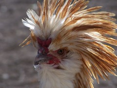 Yer gettin' on my nerves, lady. (JAEbugs) Tags: chicken animal tag3 taggedout fantastic tag2 tag1 searchthebest photos sixwordstory lisa favme freaky pumpkinpatch friday entitled sws bump badhairday feathery lisamarie dolx farmcritter fav2550 lisasmostfave featheryfriday top2005 top20zoopix interestingness54 interestingness29 i500 500f20f avianexcellence animalswithstrangehairdos