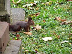 Squirrel @ Hoppenlau-Friedhof (Mediachaos) Tags: squirrel autumn leaves ilovenature hoppenlau hoppenlaufriedhof stuttgart germany badenwuerttemberg creature cute