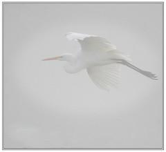 From out of the Fog.. (Team Hymas) Tags: topf25 fog washington highkey egret birdwatching whiteegret duane ridgefield clarkcounty saywalic experiencewa ridgefieldwildliferefuge ridgefieldnationalwildliferefuge wildlifeviewingsites dpslessismore