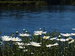 Wild & Free (Catching Magic) Tags: daisy wild flower nature water pure summer nocheat original olympus e300 newzealand mc05 mc05negativespace tiraudan lovely1