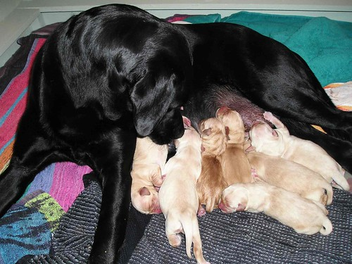 Y878naly Golden Retriever Lab Mix Puppies