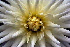 dahlia (Emily Quinton) Tags: dahlia edenproject macro cream flowers white