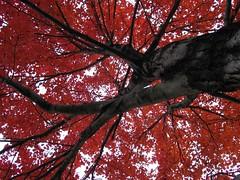Mill Hill Autumn (mtstradling) Tags: city autumn urban newjersey maple nj jersey trenton millhill mtstradling 123nj