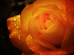the seasons: spring (-sel) Tags: light orange sunlight flower rain rose sepia spring raindrops tone 2304 hardlight flowersinmacroordof selection4charlie