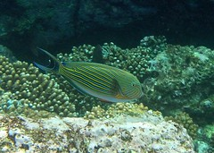 Lined Surgeonfish