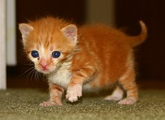 Buster III (Aiko Heiwa) Tags: baby cute nature animal fauna cat photo furry kitten kitty unfound buster cmcaug06