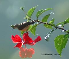 Sunbird (shivanayak) Tags: india bird birds geotagged d70 shiva karnataka karla udupi sunbird karkala bsb545 karkal purplerumpedsunbird leptocomazeylonica  shivanayak attributionnoncommercialsharealikelicense geo:Lon=74983 geo:lat=132 70300g