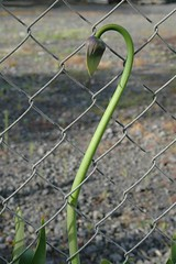 Bud (Click Attack) Tags: flowers agapanthus fence