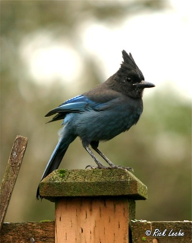 Steller's Jay - The Official Bird of British Columbia