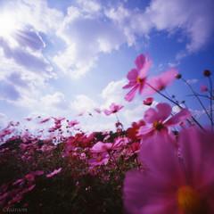 Joy (tearoom) Tags: park pink flowers blue autumn sky clouds pinhole osaka topv11111 zero2000 cosmos zeroimage topf400 topf450 topf350 flowerpictures 1500v60f
