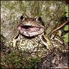 Worm Attack 4/5 -2940 (Edgar Thissen) Tags: nature animal garden photography pond natuur pg frog edgar tuin dier kikker vijver thissen pgphotography fcfrgstds
