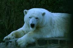 polarbear_021 (tim ellis) Tags: bear holiday animal polarbear ursusmaritimus edinburghzoo taxonomy:binomial=ursusmaritimus