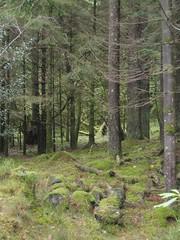 woodland (Roanna) Tags: bank mossy ballachulish