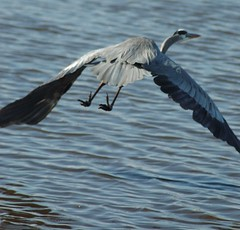 Blue Heron in flight (wortenoggle) Tags: blue heron flight shorebird eastern shore maryland