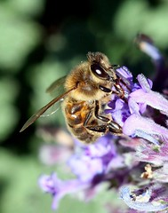 Honey bee, honey bee, smile for me! (young_einstein) Tags: canon 20d 100mm macro bee honeybee spring nature closeup flowers eye wing legs purple yellow orange